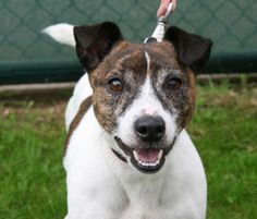 """From Bath Dogs and Cats Home: """"Garth is a friendly Jack Russell Terrier who likes company, so is looking for a home where someone is around a lot of the time."""" http://www.charitychoice.co.uk/blog/our-friday-animal-charity-five/87"""