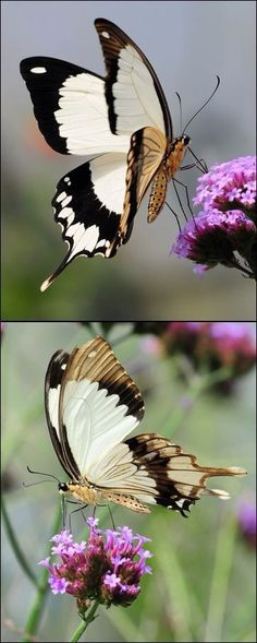 Tattoo butterfly wings insects Ideas for 2019 Butterfly Kisses, Butterfly Flowers, Butterfly Wings, White Butterfly, Beautiful Bugs, Beautiful Butterflies, Beautiful Creatures, Animals Beautiful, Flying Flowers