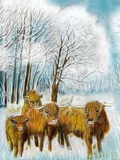 Schottische Hochlandrinder auf der Winterweide