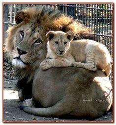 Lion w/ cub