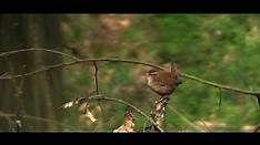 Troglodytes troglodytes - Bing Vídeos