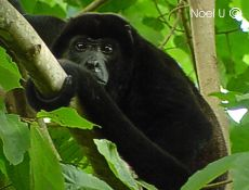 Mantled Howler Monkey,   Poor Man's Paradise