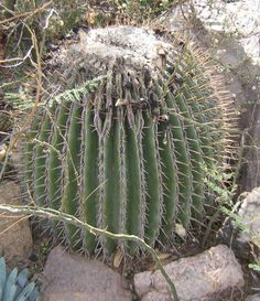 50 Samen der Echinocactus polycephalus,Sukkulenten,seeds succulents  G