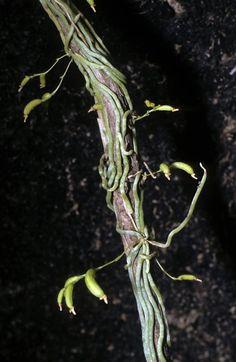 Taeniophyllum muelleri