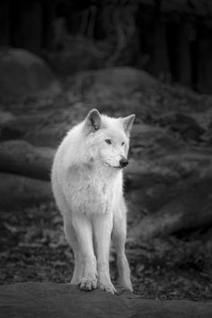 """wolvenrealm: """" White Wolf by Jesse Collins """" Felix Rodriguez, White Wolf, Lone Wolf, Angel Art, Wolves, Animal Kingdom, Panther, Husky, Wildlife"""