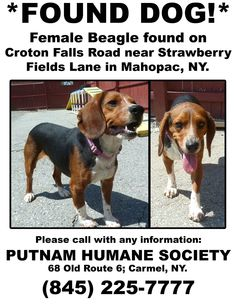 Putnam Humane Society May 4 · Edited ·    *FOUND DOG!* No one has come forward for this little female Beagle found on Croton Falls Road near Strawberry Fields Lane in Mahopac, NY. Please call the Putnam Humane Society with any information.  (845) 225-7777.