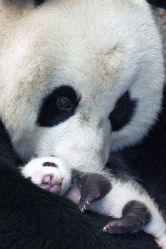 panda momma love