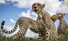 """""""Esta foto ha logrado capturar la dureza de la vida salvaje, pero también la delicadeza del fuerte vínculo entre hermanos"""". (SonaliniKhetrapal/Concurso Fotógrafo de Naturaleza del Año de National Geographic)"""