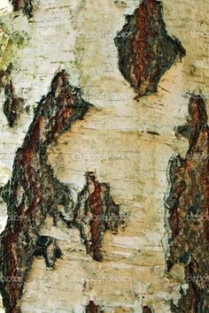 Birch Tree Bark | birch tree bark — Stock Photo © Pavlo Sachek #1279951