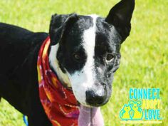 ***SUPER SUPER URGENT!!!*** - PLEASE SAVE MIKE!! - EU DATE: 7/22/2015 -- Mike Breed:Bull Terrier (mix breed) Age: Adult Gender: Male Size: Medium Shelter Information: Miami-Dade Animal Services 7401 NW 74 St  Miami, FL Shelter dog ID: A1698384 Contacts: Phone: 305-884-1101 Name: Adoptions email: Pets@miamidade.gov  Read more at http://www.dogsindanger.com/dog/1435749133327#2HBbCT6XK1bl5rkL.99