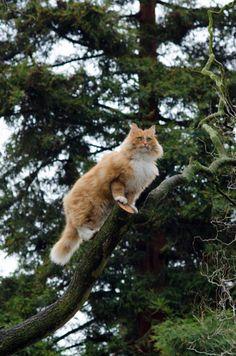 Norwegian Forest Cat, perhaps