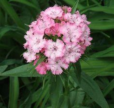 Sweet William Seeds  Dianthus barbatus   Organically by brambleoak, $1.50