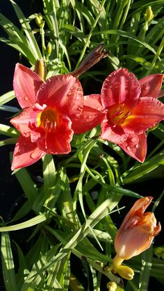 Re-blooms throughout the summer Tall Full sun to part shade Zone 4 Perennials, Day Lilies, Lawn Care, House Front, Plymouth, Bloom, Sun, Landscape, Plants