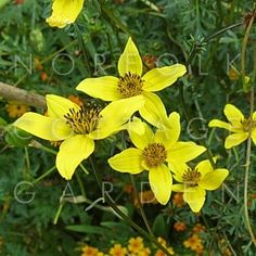 Bidens ferulifolia 'Golden Goddess' - Bidens 'Golden Goddess' - Norfolk Cottage Garden