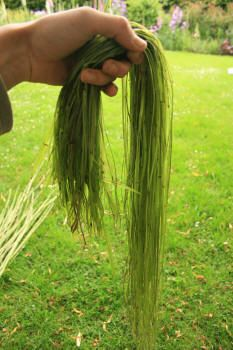 How to strip & prepare Nettle fibers for cordage making...