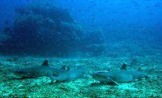 3 white tip reef sharks at Manta Point -Diversia Diving Gili Trawangan Lombok Indonesia
