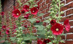 Besonders schön sind die aufrechten Blütenschäfte der Stockrosen vor Mauern oder…