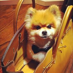 """This cute Pomeranian seems to be saying """"You know you want to take me with you today!"""""""