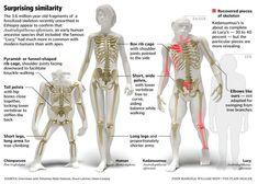 primate skeleton evolution - Google Search