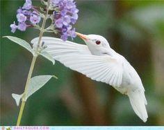 Albino Animals / Dusky's Wonders (albino ruby throated hummingbird)