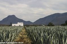 Remember the heady days of Karoo Tequila? That Agave stuff with a kick like a Mexican mule? This is its pickled history. Tequila Agave, Pots, Mexican, History, Day, Outdoor, Outdoors, Historia, Outdoor Games