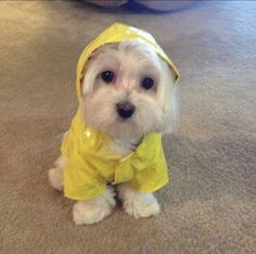 This Maltese is not scared of any rain!