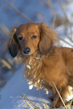 Doxies: REMEMBER DON'T LEAVE UR PUPS OUT IN THE COLD TOO LONG...REPORT ABUSE