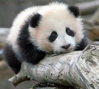 """I`m a baby panda, short not stout"""