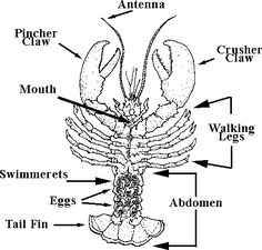 30 best project rock lobster images on pinterest rock lobster rh pinterest com Lobster Body Part Diagram Lobster Drawing Diagram