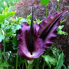 Voodoo Lilies are bizarre. They grow without soil and smell like dead meat. If you're not already a devotee, plant something else. Dracunculus vulgaris blooms a large purple-black spathe like a 3' got