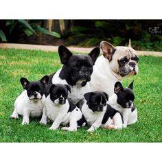 Frenchie Family Photo