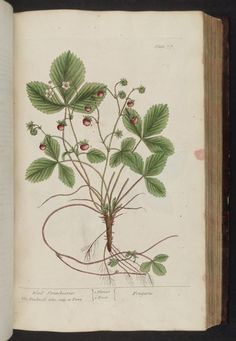 Wild Strawberries.  Illustration taken from 'A Curious Herbal' by Elizabeth Blackwell, John Nourse, Samuel Harding. Published 1737. Printed for Samuel Harding.  Missouri Botanical Garden, Biodiversity Heritage Library.
