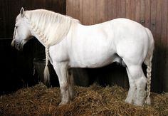 Boulonnais, nicknamed the White Marble Horse. A heavy draft breed known for its massive yet elegant appearance. From north France, the Boulonnais has a long and noble history. They almost became extinct after the World Wars; even today the breed is endangered. Programs are in effect to increase the population but, disturbing to me, one of its uses is as meat.