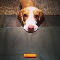 Crumpet Beagle | Pawshake Sg