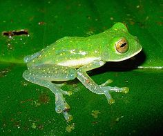 ♥ This wide-eyed species is one of three so-called glass frogs discovered in Colombian rain forests in late 2008