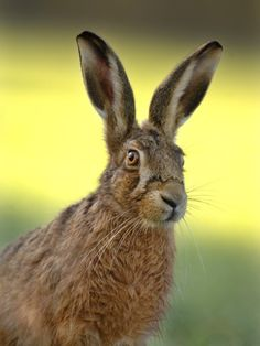 Brown hare, shot by Andrew Parkinson.