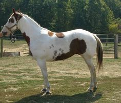Tovero ~ Mixed Tobiano and Overo markings as in Blue eyes on a Dark head or a White face with dark patches around eyes