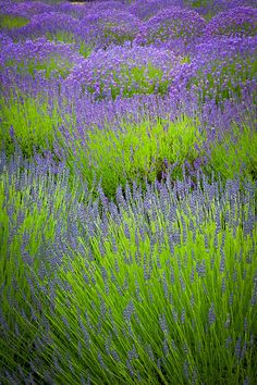 Lavender Study Photograph by Inge Johnsson - Lavender Study Fine Art Prints and Posters for Sale
