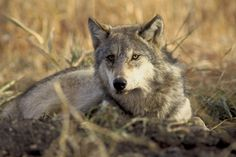 <p>A petting zoo called Fur-Ever Wild has been exposed for not only allowing members of the public to play with wolf cubs but also for selling the pelts of its older wolves!</p>