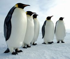Troupe of Emperor penguins standing at attention in Antarctica.