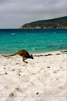 Australia......seeing a kangaroo on the beach is far from an every day event! ❤ www.pinterest.com/WhoLoves/Sydney ❤ #Sydney #Beaches