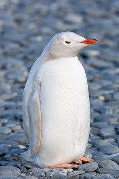 Emperor Penguin: Evolution