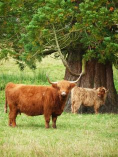Highland Cows at Eslington Hall, Northumberland, UK