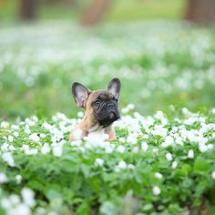 French Bulldog Puppy in the First Flowers of Spring.