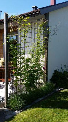 Spalje clematis och lavendel clematis lavendel och Spalje is part of Diy garden trellis - Back Gardens, Outdoor Gardens, Full Sun Perennials, Fall Perennials, Perennials Fabric, Garden Trellis, Plant Trellis, Clematis Trellis, Diy Garden