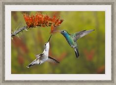 Don Grall Solid-Faced Canvas Print Wall Art Print entitled Male broad-billed hummingbird shares a bloom with a female black-chinned hummingbird Wall Art Prints, Canvas Prints, Gloss Matte, Pet Birds, Gifts In A Mug, Poster Size Prints, Photo Puzzle, Arizona, Digital Prints