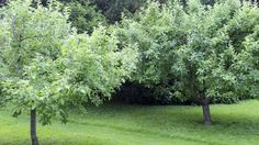 Jackie French looks at fruit trees for a small backyard.