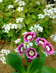 auriculas. they're beautiful!