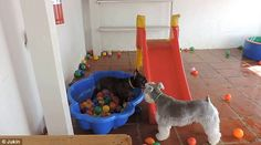 Best friends: And then he enjoys some bonding time with his pal, the Schnauzer
