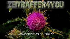 Nickende Distel Carduus nutans musk thistle nodding thistle Timelapse Ze...